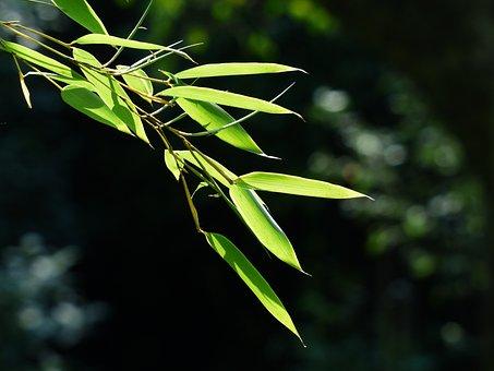 竹, 笹の葉, 葉, 緑, 甘草, イネ科, モウソウチク, P