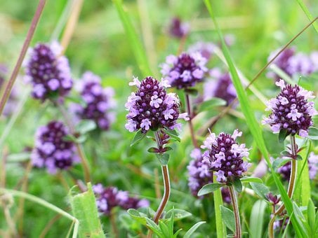 Thym Fleur Violet Des Plantes Sauvages Thy