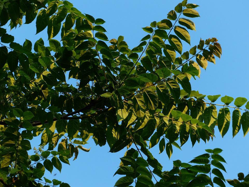Hojas, Follaje, Ailanthus Altissima, Verde