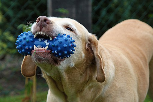 Dog, Nelly, Toys, Chew, Tooth, Mammal