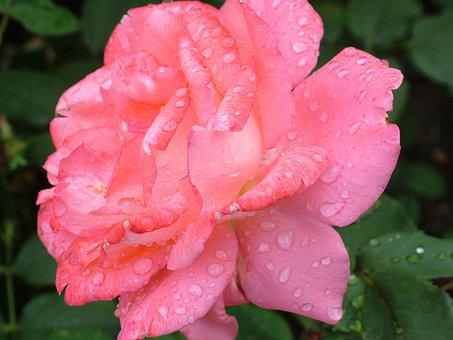 Роза, Цветок, Красный Цвет, Завод, Пинк, Цвести