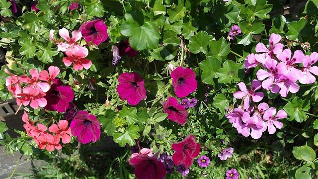 Petunia Geranium Summer Flowers · Free Photo On Pixabay