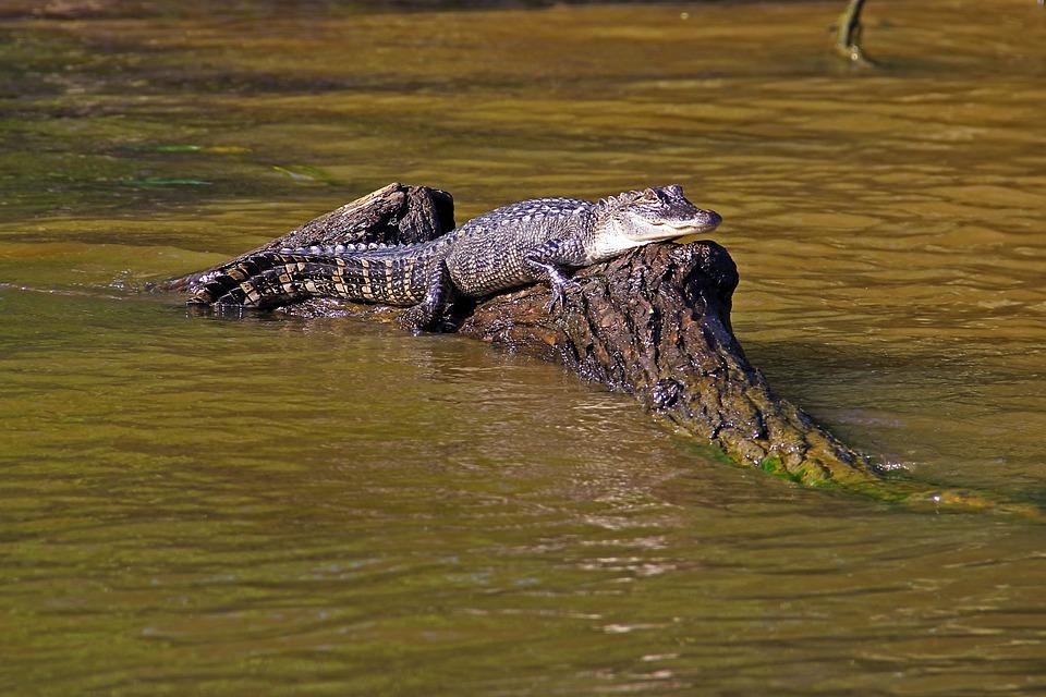 Free photo: Alligator, Swamp, Bayou, Animal - Free Image ... Louisiana Swamp Alligator