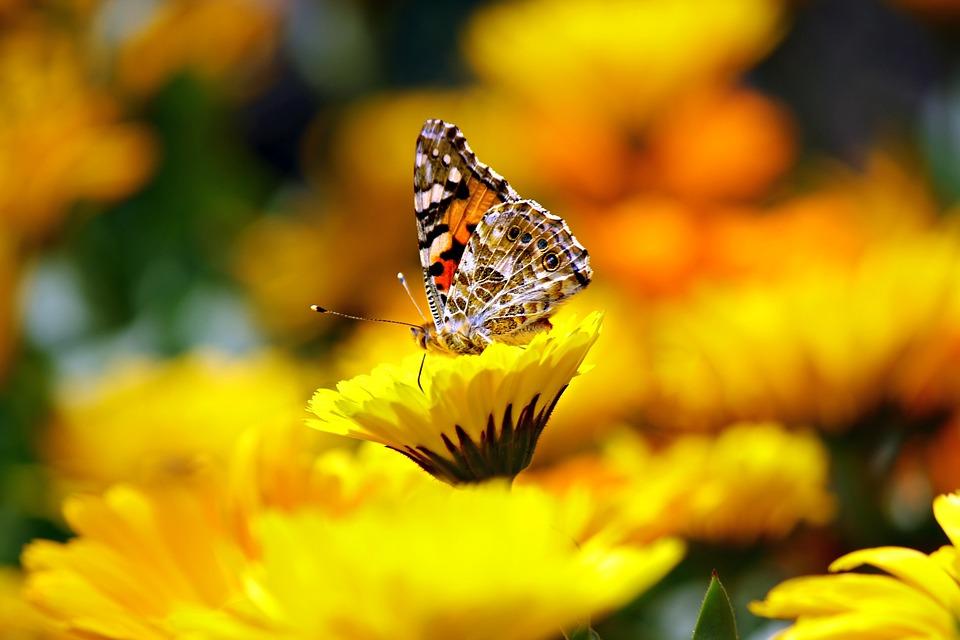 Papillon, Insectes, Des Animaux, Morpho, Peleides