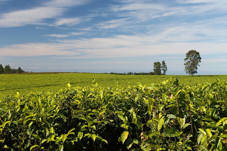 Tea Plantations Greenery · Free photo on Pixabay