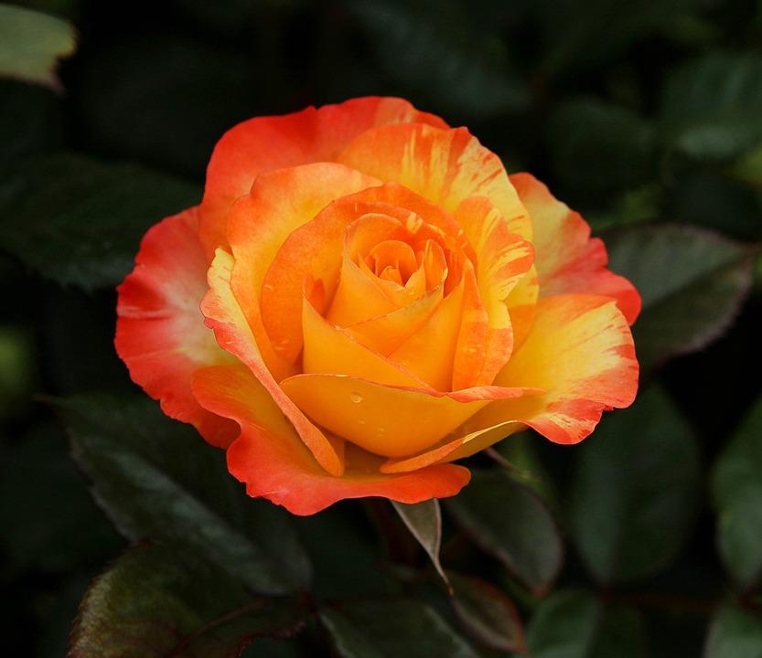 Varigated rose orange yellow free photo on pixabay varigated rose orange yellow flowers yellow flower mightylinksfo