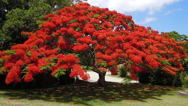 Free photo flowering tree poinsiana bermuda free for Arboles ornamentales de jardin