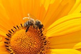 Bee, Pollen, Nectar, Yellow, Blossom