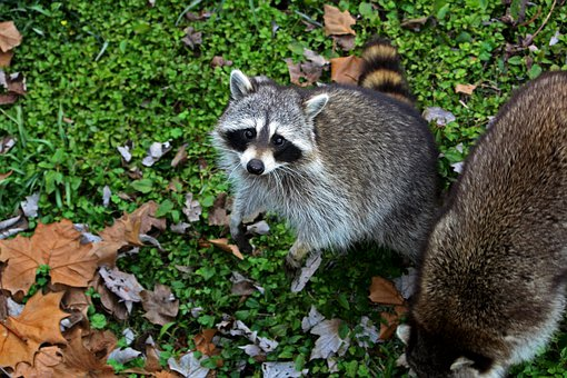 Raccoon, Masked, Animal, Wildlife, Wild