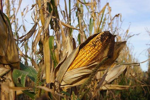 Corn, Kukuruz, Popcorn