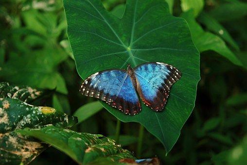Animales, Hermosa, Azul, Mariposa