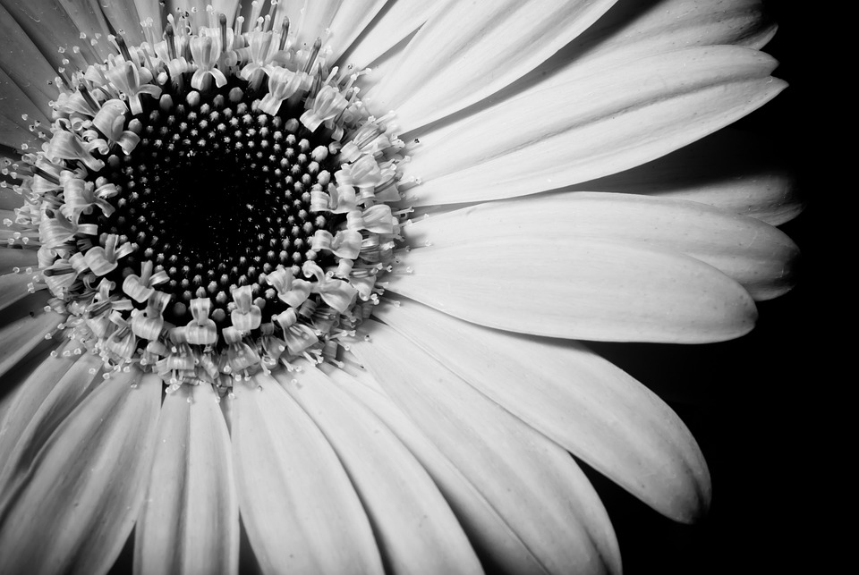 Sunflower Black And White Close Up Free Photo On Pixabay