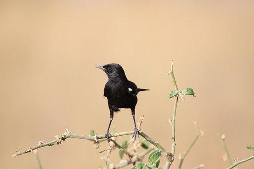 Bird, Black, Animal, Africa, Safari