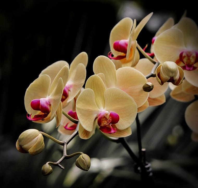 Moth Orchid Phalaenopsis Flowers 183 Free Photo On Pixabay