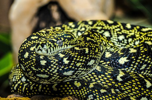 Snake, Zoo, Macro, Animal, Enlarge View