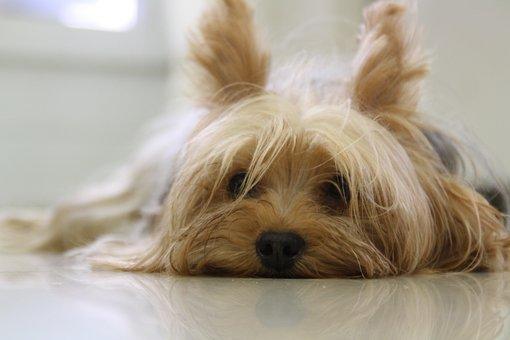 Yorkshire Terrier, Perro, Yorkie, Terrier