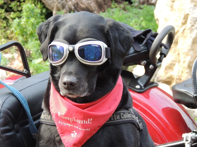 Dog Sidecar Sunglasses · Free photo on Pixabay