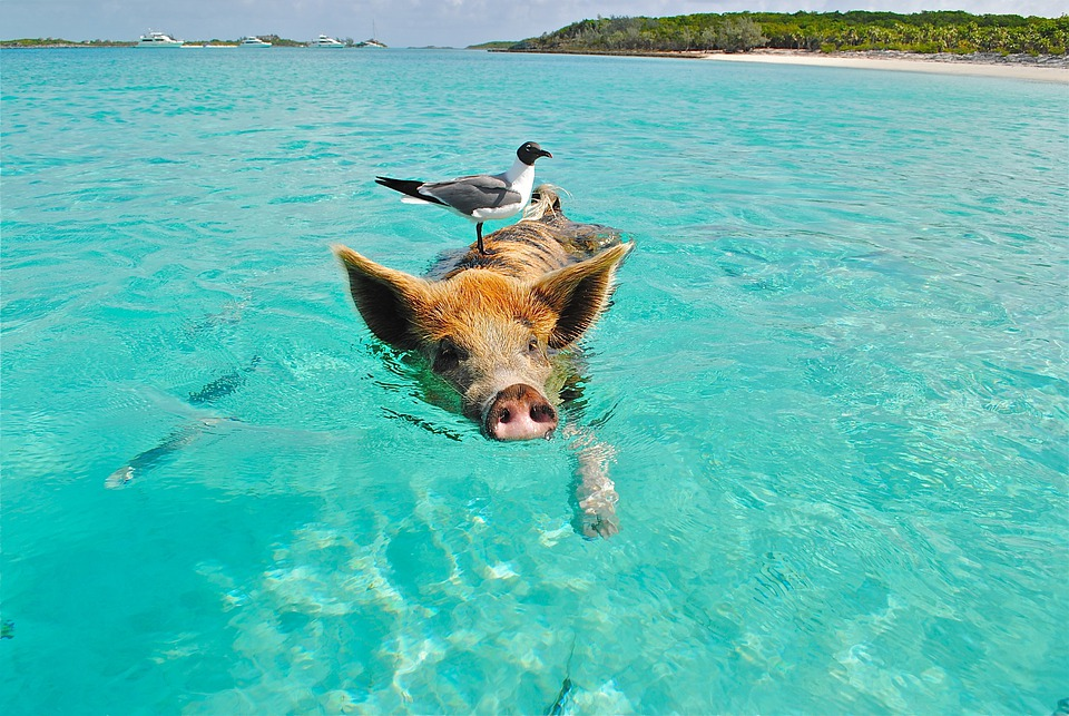 Staniel, 水泳豚, 鴎, 魚, Exumas, バハマ, 動物, 自然