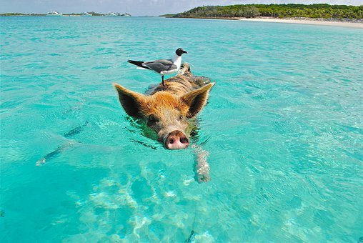 Staniel Cay Swimming Pig Seagull Fish Exum