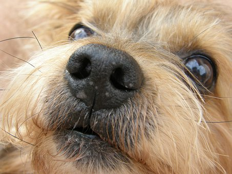 Dogs, Yorkshire Terrier, Pets, Summer