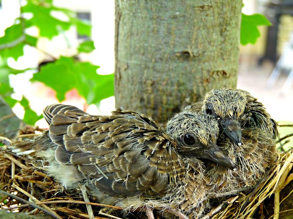 oiseaux nid arbre photo gratuite sur pixabay. Black Bedroom Furniture Sets. Home Design Ideas