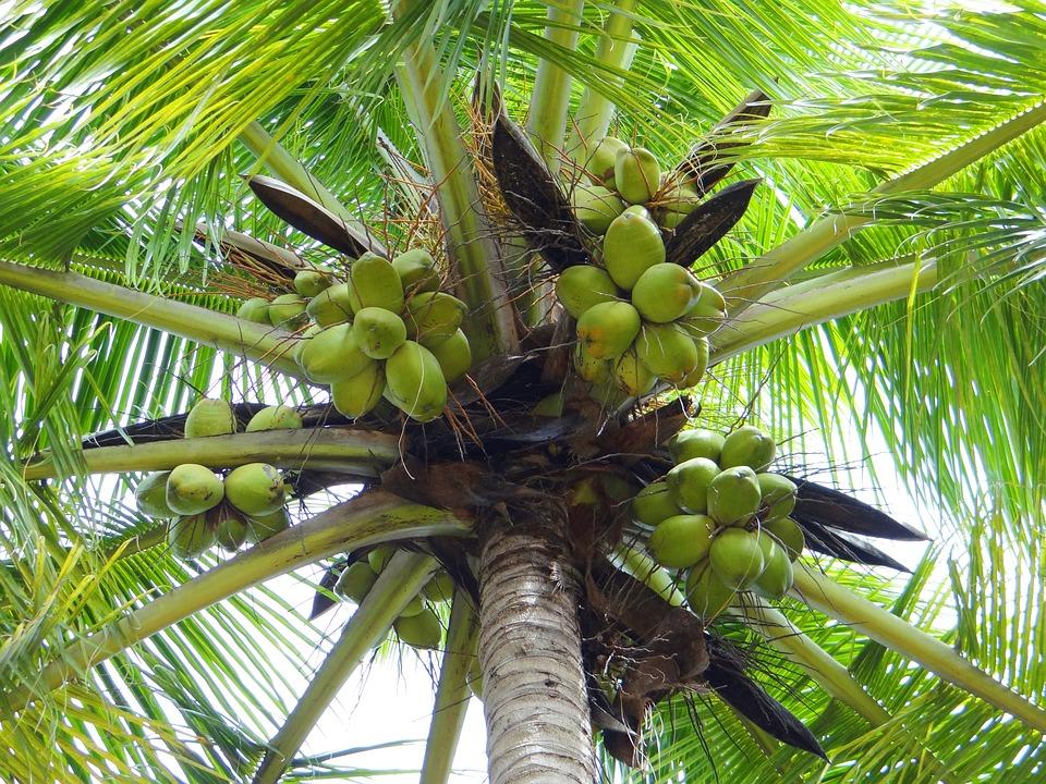 Cocotier dharwad inde photo gratuite sur pixabay - Palmier cocotier ...
