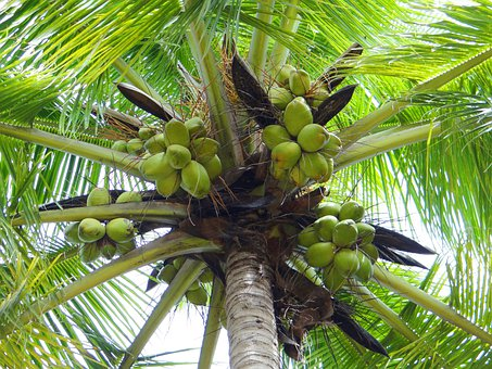 Coconut Palm, Dharwad, India, Palm Tree