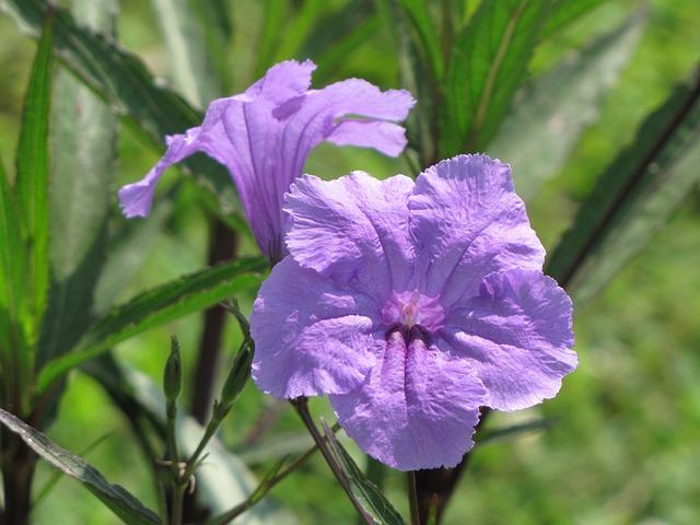 Free Photo: Mexican, Petunia, Flowers, Purple