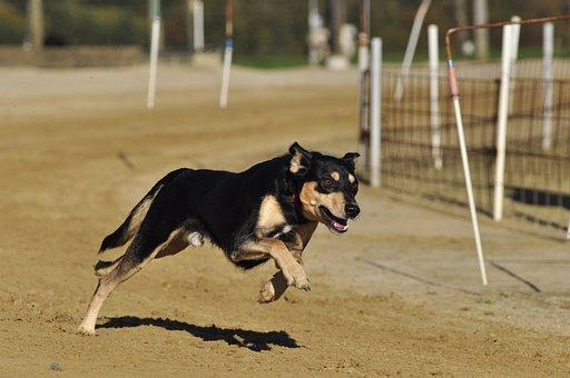 Pet, Dog, Racecourse, Greyhounds, Animal