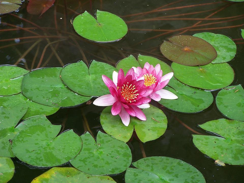 Foto gratis lotus plantas plantas acu ticas imagen for Plantas para estanques de agua fria
