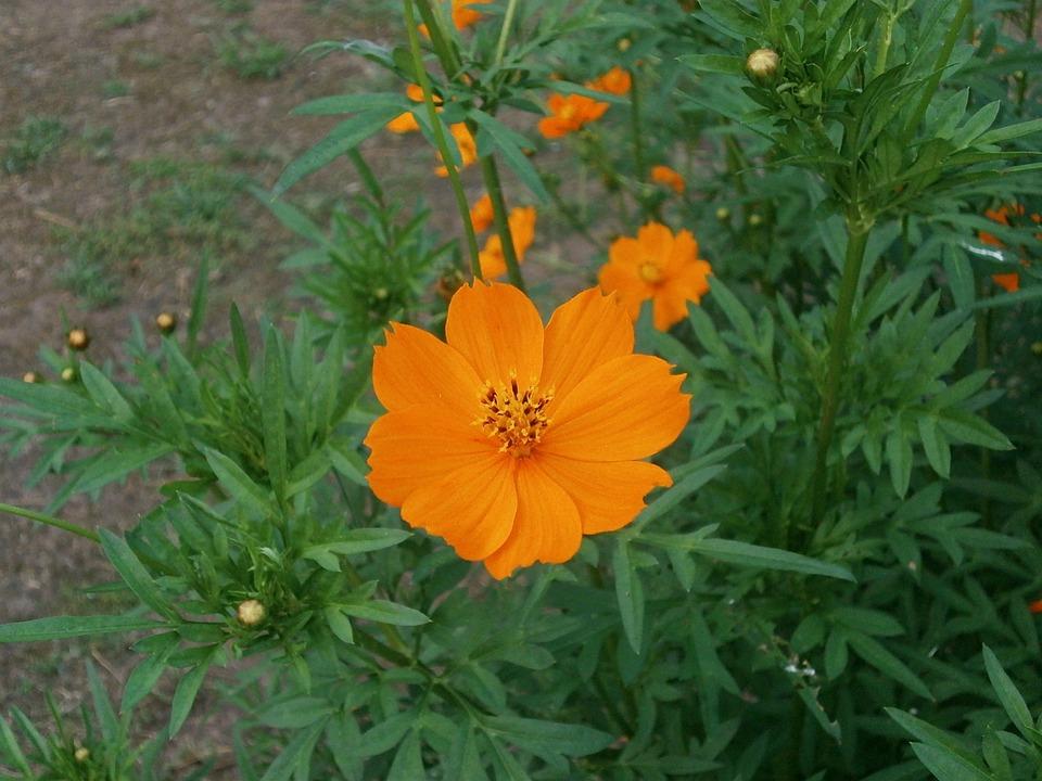 cosmos sulphureus orange  u00b7 free photo on pixabay
