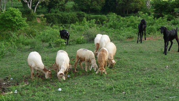 Sheep, Goats, Grazing, Animal, Wildlife