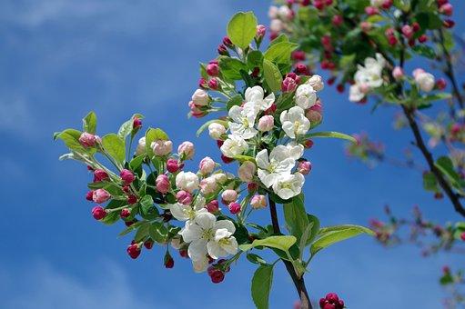 リンゴの花, ツリー, 支店, 春, 夏, 空, 雲, 自然, 外, 花