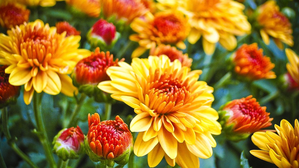 Mums Fall Foliage Floral 183 Free Photo On Pixabay