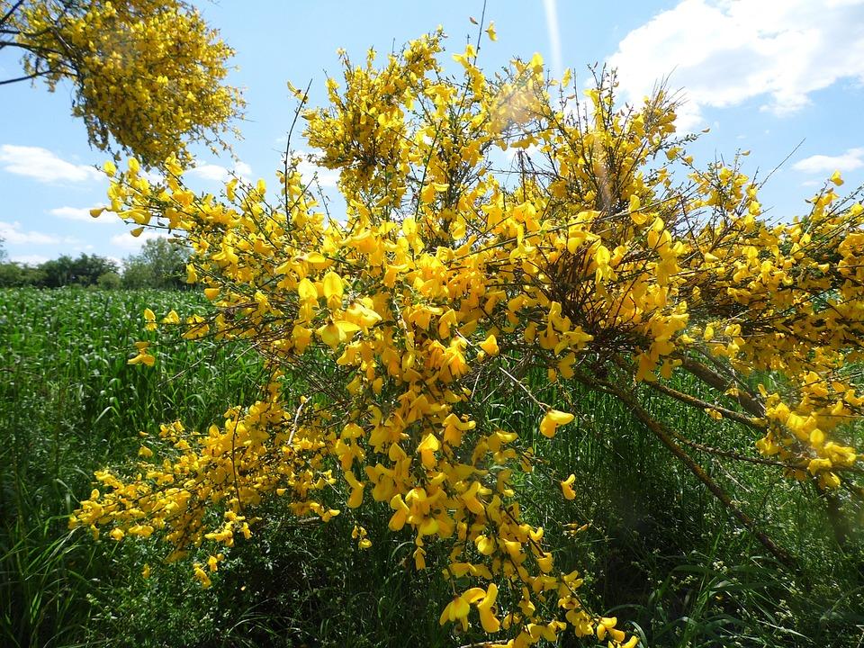 фото кустарника с желтыми цветами весной тех пор как
