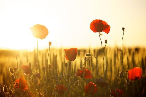 ポピー, フィールド, 日没, 夕暮れ, 日光, 花, 牧草地, ブルーム