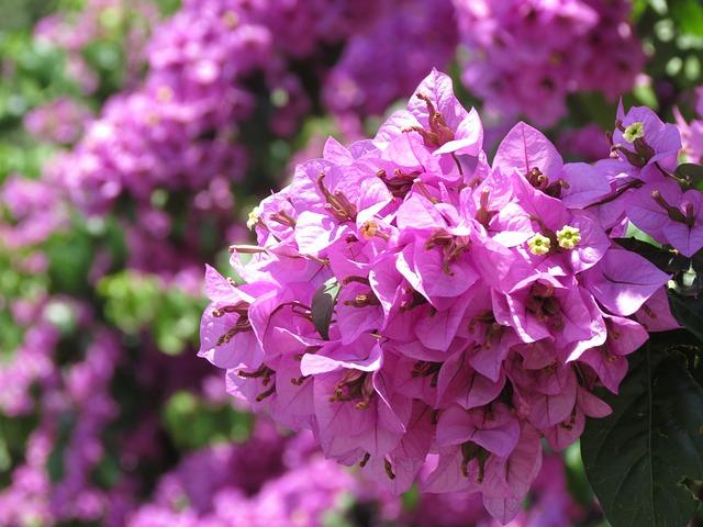 Кустарник с фиолетовыми цветами