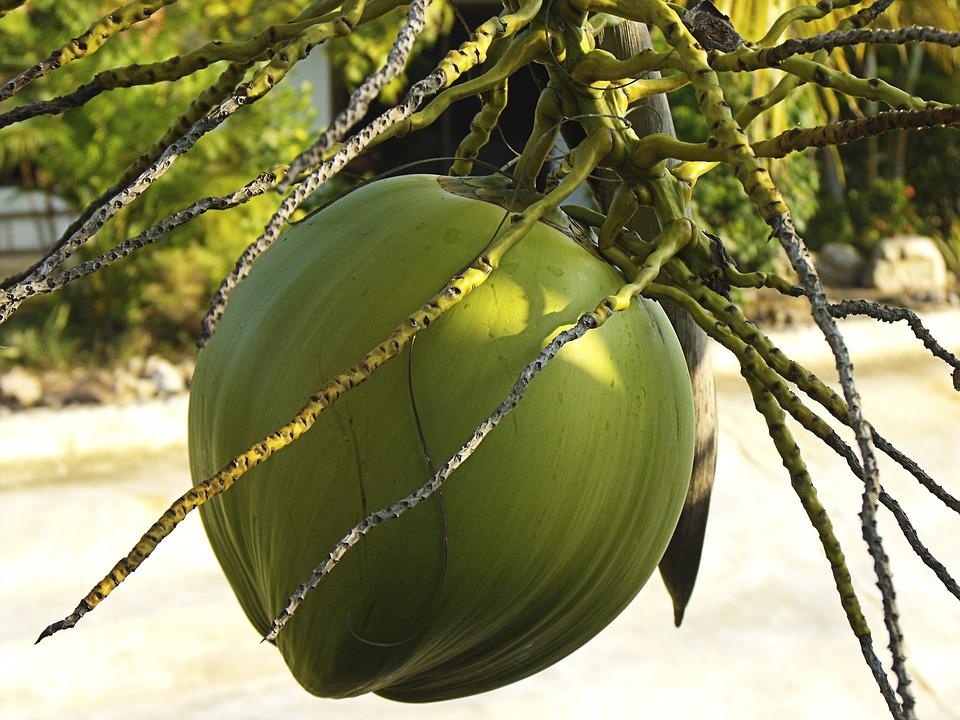 Photo gratuite noix de coco arbre de noix de coco image gratuite sur pixabay 174666 - Arbre noix de coco ...