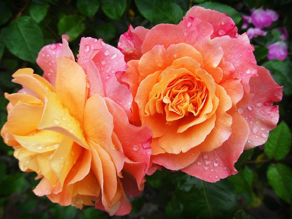 Fleurs, Pétales, Rosée, Gouttes De Rosée, Gouttelettes