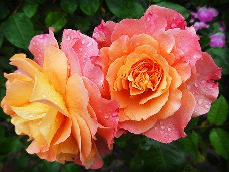 Fleurs, Pétales, Rosée, Gouttes De Rosée
