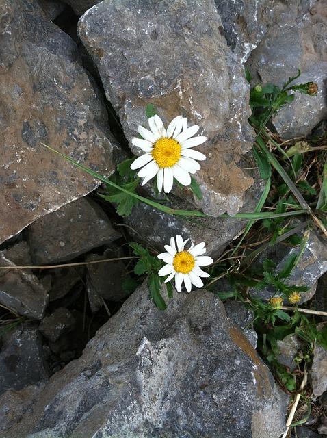 free photo  perseverance  hope  daisy  flower - free image on pixabay