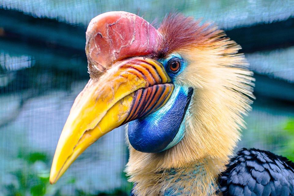 Calao de casco aves más curiosas del mundo