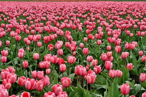 tulip flower images pixabay download free pictures