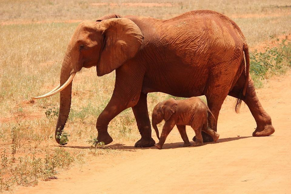 L phant cub tsavo photo gratuite sur pixabay - Photos d elephants gratuites ...