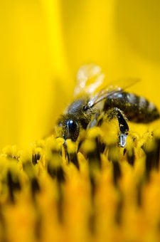 Bee, Working Bee, Nature, Sunflower
