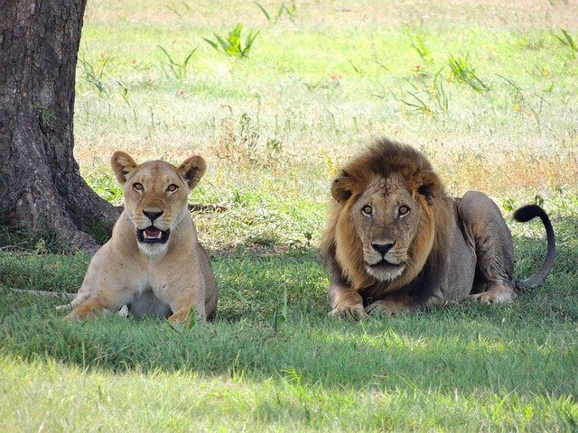 free photo  lions  animal  male  female lions - free image on pixabay