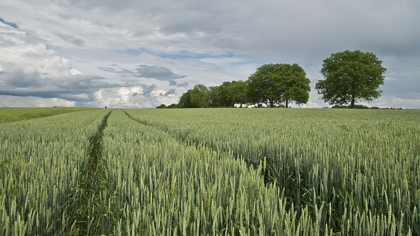 Wheat, Wheat Field, Cereals, Agriculture