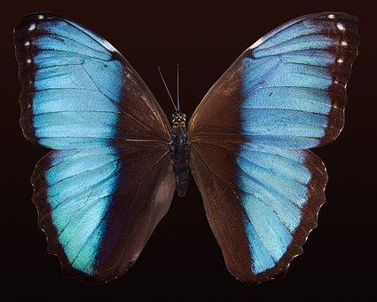 Mariposa, Exóticas, América Del Sur