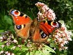 motyl, skrzydełka, czerwony