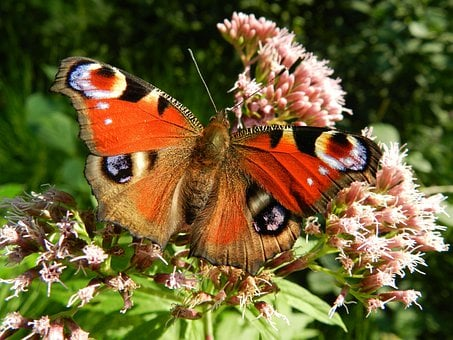 Butterfly, Wings, Red, Flowers, Insect